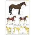 Planche hippologie 6, Anatomie du cheval Collectif Editions Lavauzelle