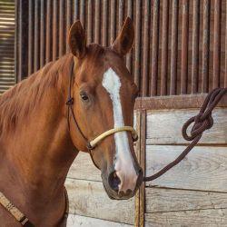 Licol éthologique avec longe cheval bosal tresse - Cashel
